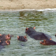 Some Hippos waterside in Africa — стоковое фото #7152072