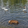 Dog and ducks in a river — Stock Photo
