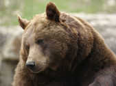 Portrait of a Brown Bear — Stock Photo