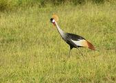 Black Crowned Crane in Uganda — Stock Photo
