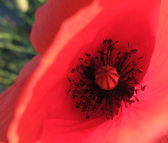 Red corn poppy detail — Stock Photo