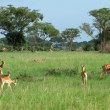Uganda Kobs in african Savannah — Stock Photo