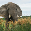 Elephant in high grass — Stock Photo