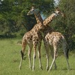 Male Giraffes at fight — Stock Photo