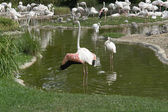 Flamingoes in sunny ambiance — Stock Photo