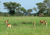 Uganda Kobs in african Savannah — Stock Photo