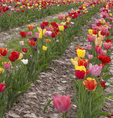 Colorful field of tulips — Stock Photo