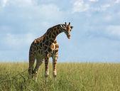 Rothschild Giraffe in african grassland — Stock Photo