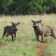 Warthogs in sunny ambiance — Stock Photo #7182597