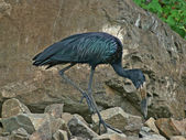 African Openbill in stony back — Stock Photo