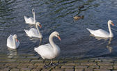 Swans and ducks riverside — Stock Photo