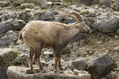 Alpine Ibex in stony back — Stock Photo
