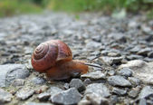 Grove snail creeping on gravel — Stock Photo