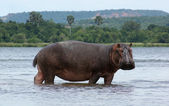 Hippo in Africa — Stock Photo