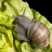 Grapevine snail at feed — Stock Photo
