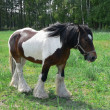 Stock Photo: Draft Horse in green pasture