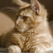 Stock Photo: maine coon kitten