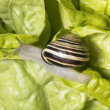 Grove snail upon green lettuce — Stock Photo #7197190