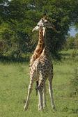 Fighting Giraffes in Uganda — Stock Photo