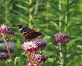Red Admiral on flower at summer time — Stock Photo