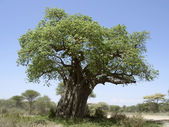 Old Baobab tree — Stock Photo