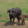 AfricBuffalos in sunny ambiance — Stock Photo #7211360