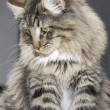 Norwegian Forest Cat portrait — Stock Photo