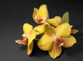 Some yellow orchid flowers — Stock Photo
