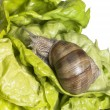 Grapevine snail at feed — Stock Photo #7224526