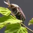 Stock Photo: May beetle sitting on twig