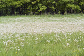 Lots of dandelions — Stock Photo