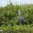 Shoebill in green vegetation — Stock Photo