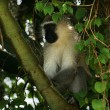 Vervet monkey sitting in a treetop - Foto Stock