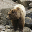 Brown Bear on rock formation — Stock Photo