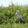 Royalty-Free Stock Photo: Shoebill in Africa