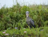 Shoebill in green vegetation — Stock Photo
