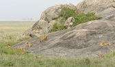 Young Lions playing on a rock formation — Stock Photo