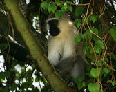 Vervet monkey sitting in a treetop — Stock Photo