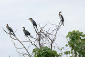Cormorants on treetop — Stock Photo