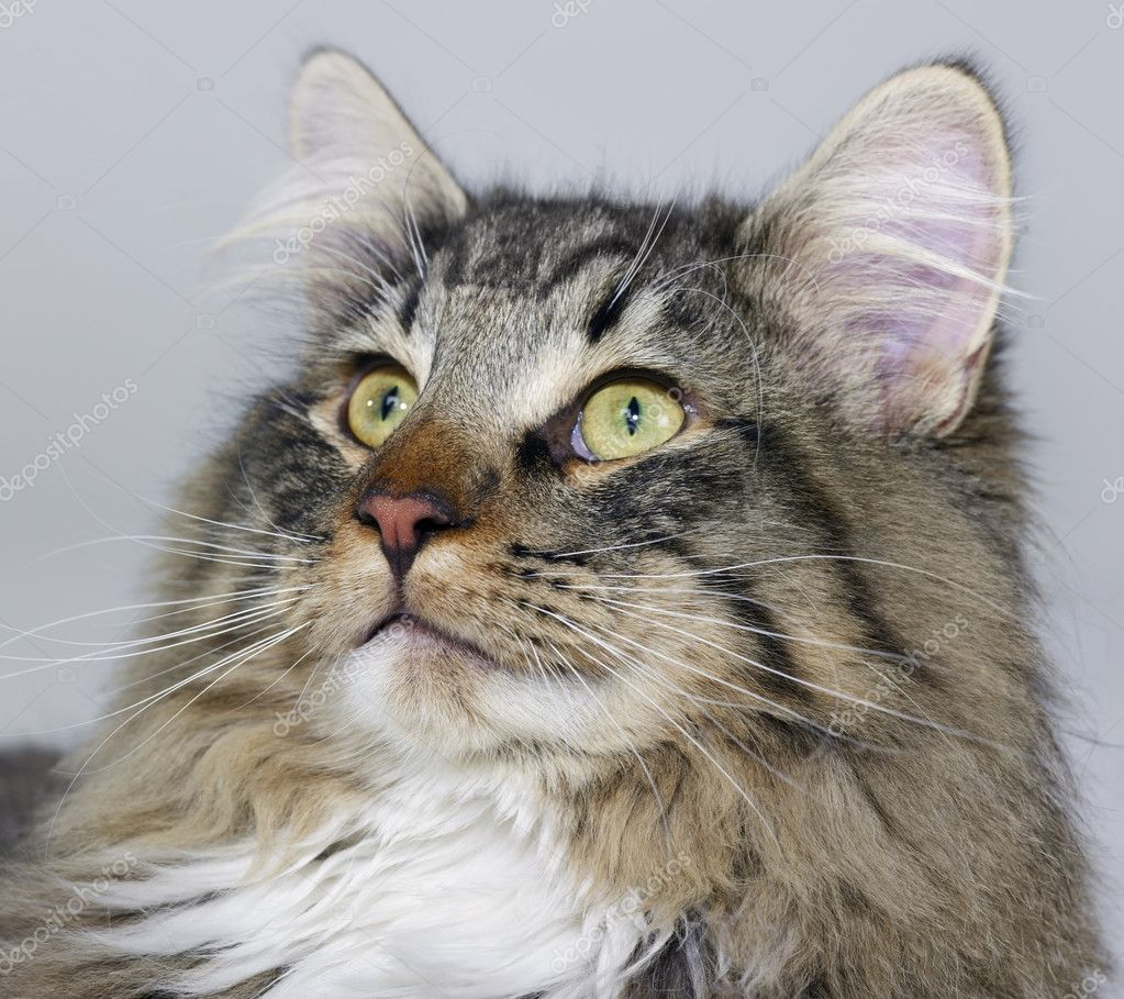 Portrait of a Norwegian Forest Cat — Stock Photo #7250256