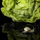 Yellow Grove snail and salad — Stock Photo