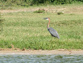 Goliath Heron in sunny ambiance — Stock Photo