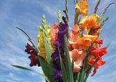 Bos van gladiolen bloemen — Stockfoto