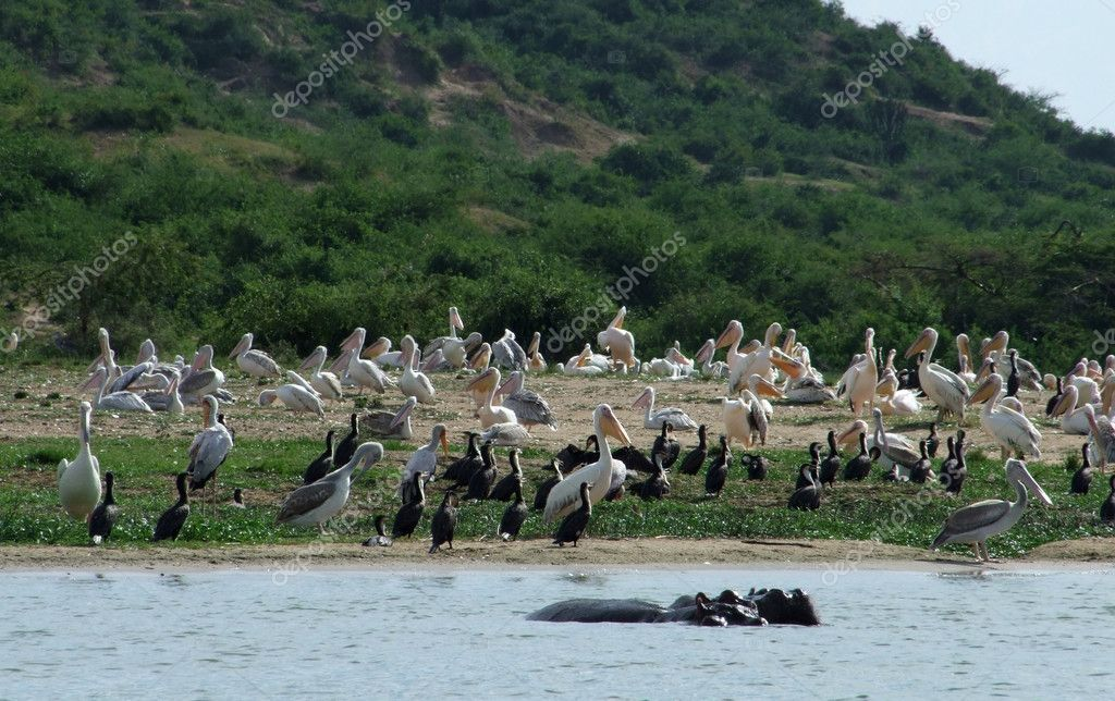 Sunny waterside scenery with lots of birds in Uganda (Africa) — Stock Photo #7267961