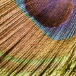 Peacock feather detail — Stock Photo #7281591