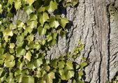Ivy horizontal — Stock Photo