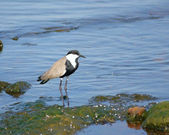 Spur-winged Lapwing in Africa — Stock Photo