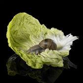 Grapevine snail on green lettuce leaf — Stock Photo