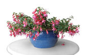 Pink fuchsia in a pot — Stock Photo