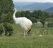 Greater Rhea in natural back — Stock Photo